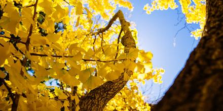 Yellow autumn leaves-600x300-web
